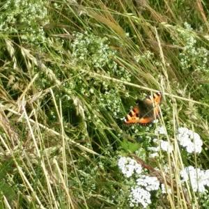 Fine sommerfuglen.